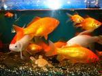 P金魚ブログ.JPG